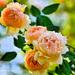 NZ7_7255 A - BASHFUL ROSES