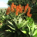 Aloes in my garden out in bloom at the moment