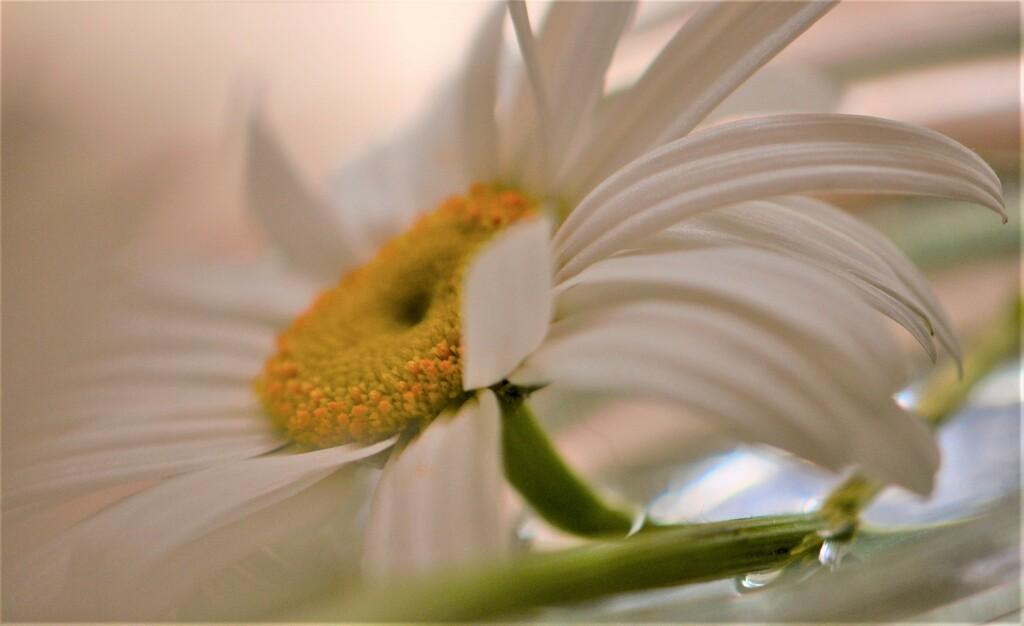 Large white daisy flower...... by ziggy77