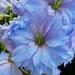 Delphinium  Floret