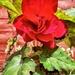 Biggest Begonia.....