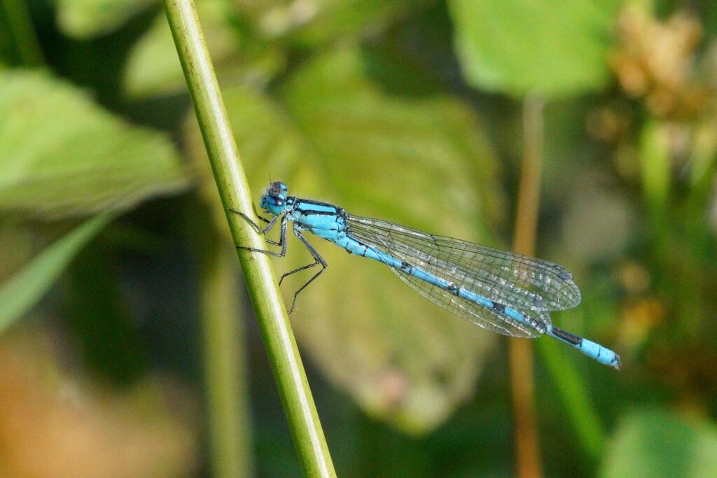 COMMON BLUE DAMSELFLY by markp