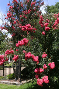 28th Jul 2021 - Pretty tree