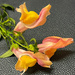 Snapdragon blossom