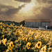Sunflowers and Barn by not_left_handed