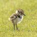 Lapwing Chick by shepherdmanswife