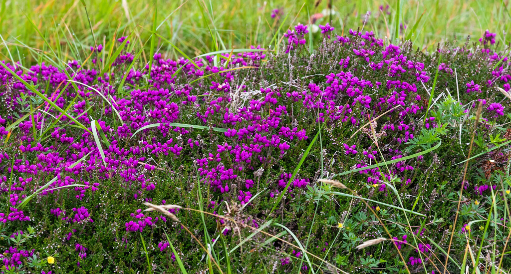 Bell Heather by lifeat60degrees