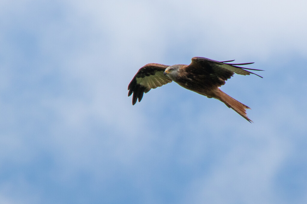 Red Kite by matsvanesphotography