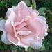 my favourite rose by gijsje
