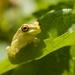 Froggy by dutchothotmailcom