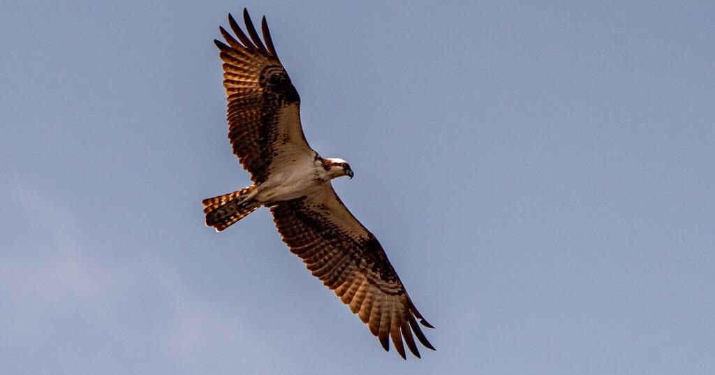 Osprey Fly-Over! by rickster549