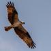 Osprey Fly-Over!