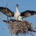 Nesting pied shags (cormorants) by maureenpp