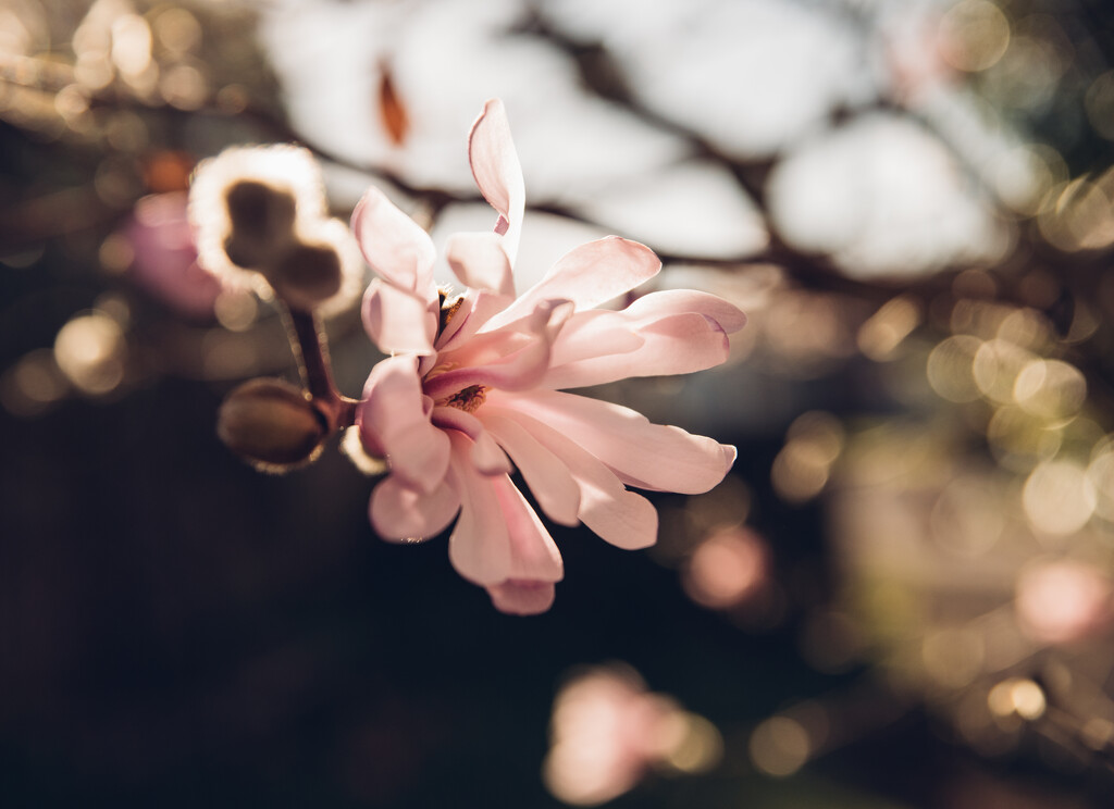 Pink magnolia blossom with pink bokeh by brigette