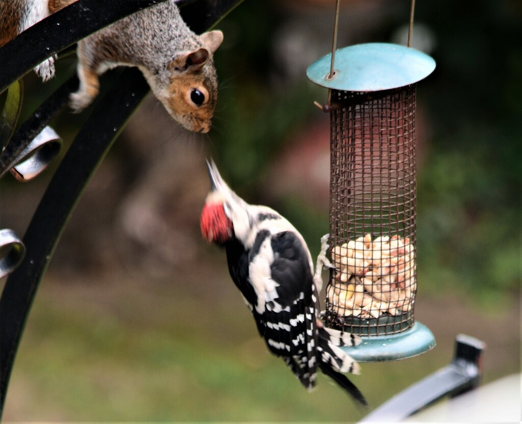 Great Spotted Woodpecker and Squirrel.................... by ziggy77