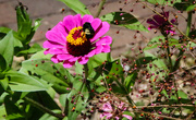 29th Jul 2021 - A bee on a flower