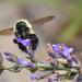 So many bumblebees