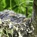Goldfinch nest.