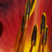 Pollen Covered Stamens by k9photo