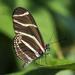 Zebra Longwing on Leaf
