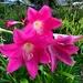 Belladonna lilies, Hampton Park Garden