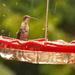 Hummingbird in the Rain!