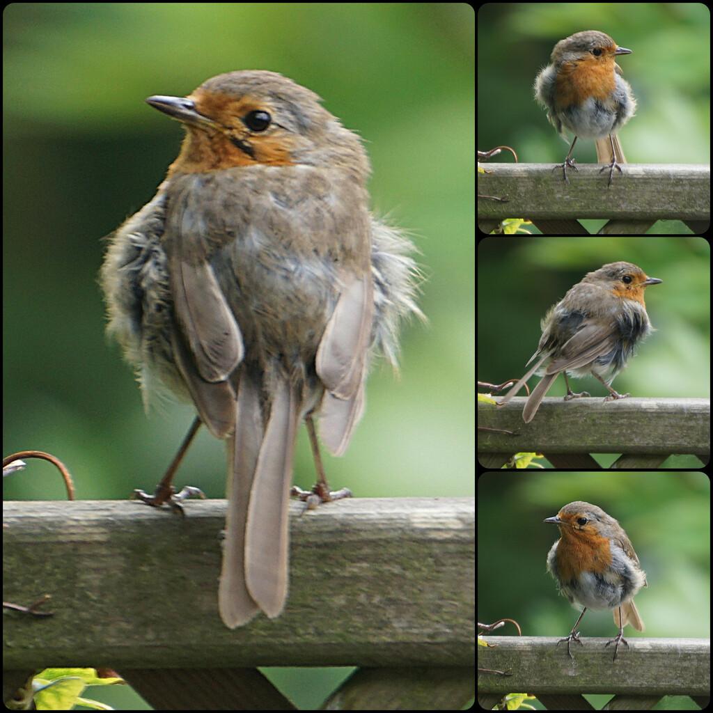 a ragged robin by quietpurplehaze