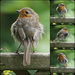a ragged robin