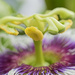 Passion Fruit flower,