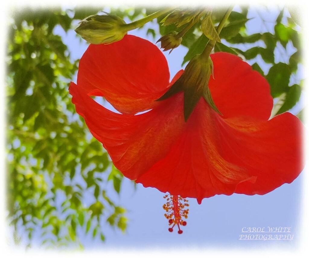 Hibiscus by carolmw
