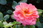 30th Jul 2021 - Pink rose