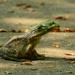 Bullfrog on Sidewalk