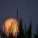 Cornstalks and Moon