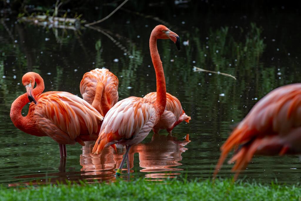 Flamingo Friday - Finally! by farmreporter