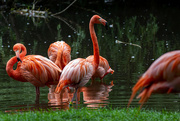23rd Jul 2021 - Flamingo Friday - Finally!