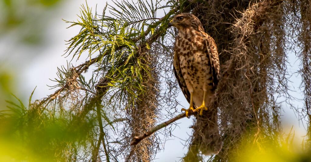 Juvenile Red Shouldered Hawk! by rickster549