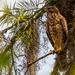 Juvenile Red Shouldered Hawk!
