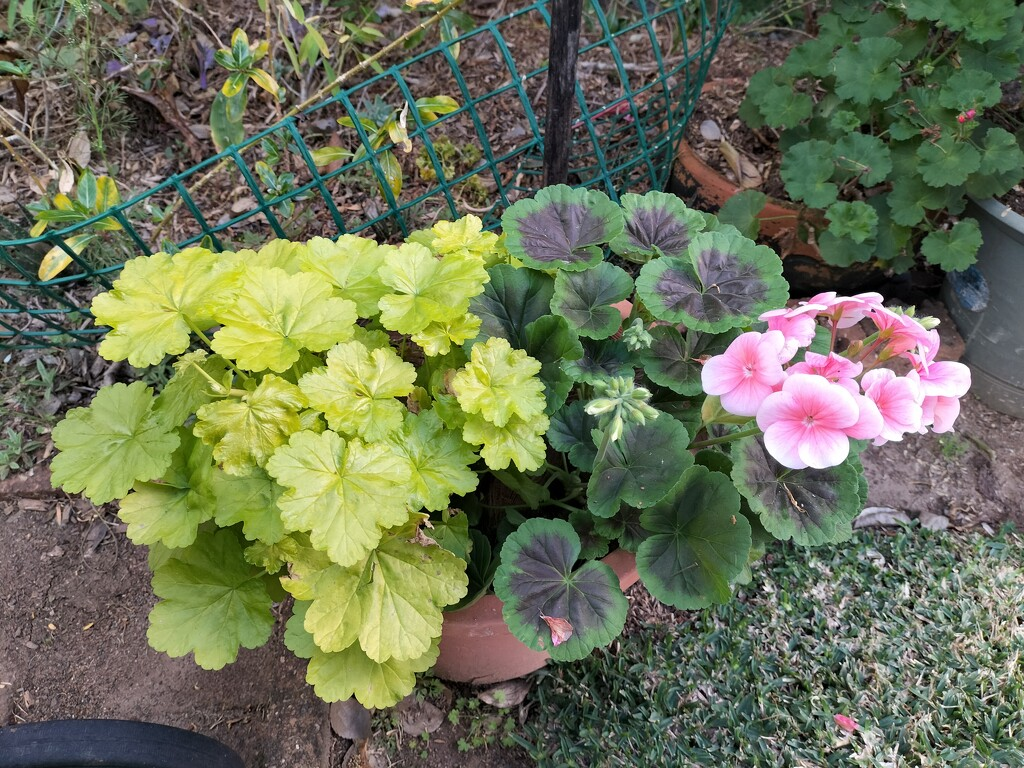 My Geraniums are coming on nicely by 777margo