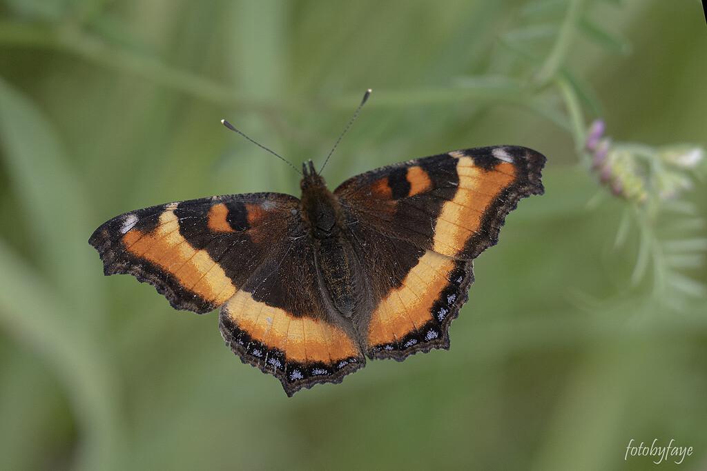 Small Tortoiseshell Butterfly by fayefaye