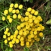 Tansy and Visitors