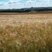 Fields ready to harvest.....