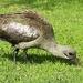 Hadida Ibis