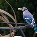 Blue Jay with a Mouthful