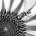 Hover fly on Echinacea in black and white