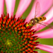 Hoverfly on Echinacea in Colour