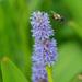 bumblebee and Pickerelweed