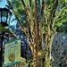 The Leopard tree (Libidibia ferrea syn. Caesalpinia ferrea) ~