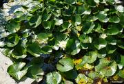 31st Jul 2021 - Water lillies