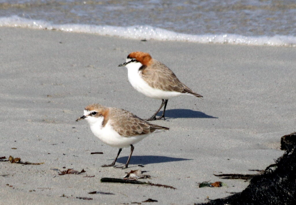 Pair of red-capped plovers by gilbertwood