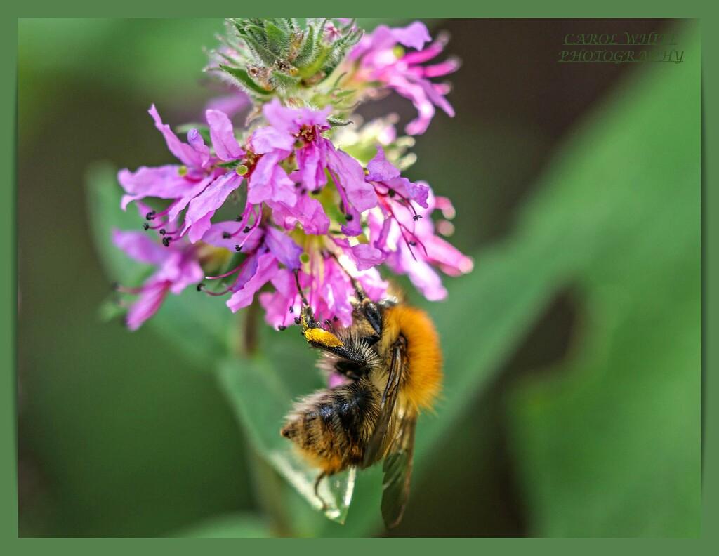 Collecting Pollen by carolmw